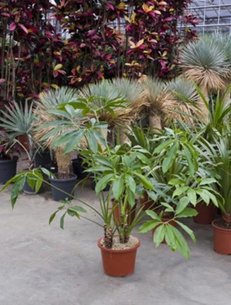 Philodendron fun bun 170 cm
