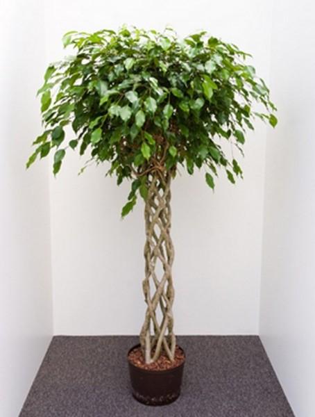Ficus benjamina 170 cm | Birkenfeige window