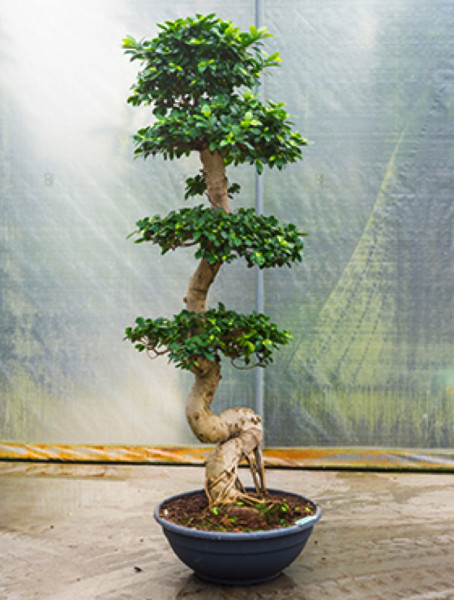 Ficus microcarpa compacta 200 cm - Stamm S