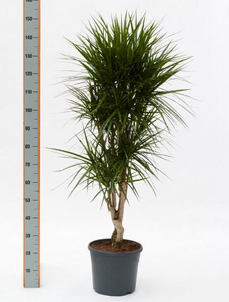 Dracaena marginata 140 cm