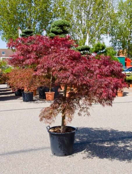 Acer dissectum inaba shidare 160 cm