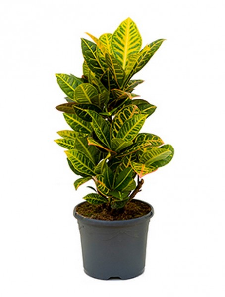 Croton petra - Wunderstrauch 60 cm