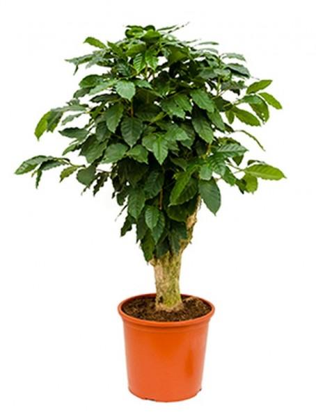 Coffea arabica 120 cm | Kaffeestrauch