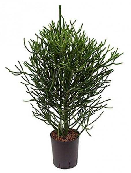 Euphorbia tirucalli 90cm