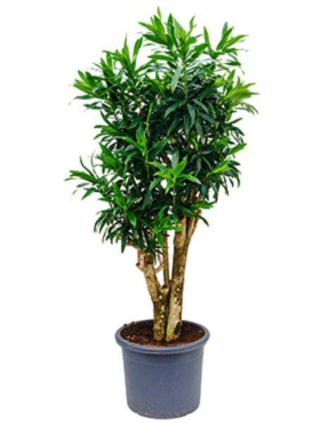 Pleomele reflexa 180cm - Drachenbaum